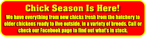 Chick Season Is Here! Chicks will begin arriving at the end of February. Production Reds, Barred Rocks, Americanas & Buff Orpingtons Ducks, Turkeys, & Geese arrive later this spring